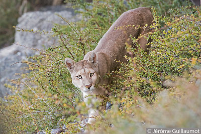 Close encounter with a wild Puma at Torres Del paine (Chile)