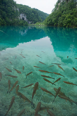 Chevesne dans un lac du parc national de Plitvice en Croatie / Chevesne in a lake of Plitvice National Park in Croatia