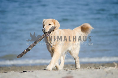 Golden Retriever with a big stick walk down the beach