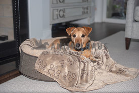 terrier laying on brown dog bed in neutral living room