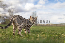 silver bengal cat in grass