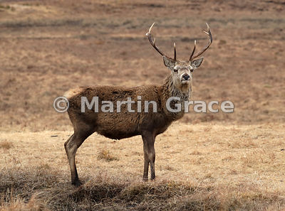 Red Deer stag (Cervus elaphus) on open moorland (muir), Badenoch & Strathspey, Scottish Highlands