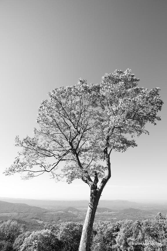 LONE TREE SHENANDOAH VALLEY SHENANDOAH NATIONAL PARK VIRGINIA BLACK AND WHITE VERTICAL