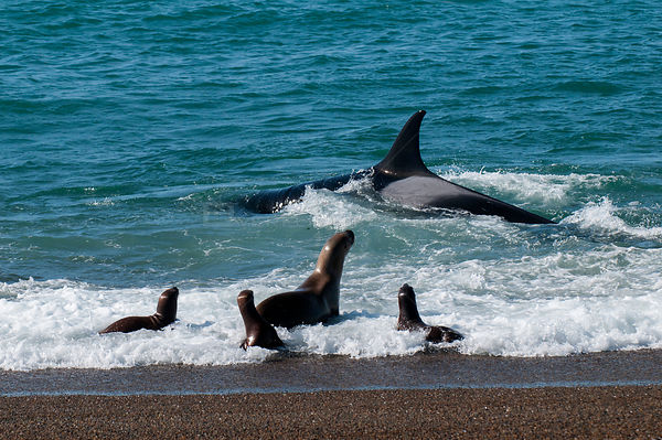 Orca (Orcinus orca) hunting sea lion pups. Punta Norte Provincial Reserve, Peninsula Valdez, Chubut, Patagonia Argentina.