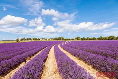 Lavender field in summer, Provence, France