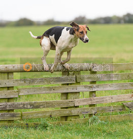 Quorn hounds jumping a hunt jump at Thorpe Satchville - Quorn Hunt Opening Meet 2016