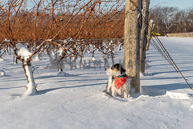 Jack Russell Terrier in a vineyard in snow wearing festive bandana