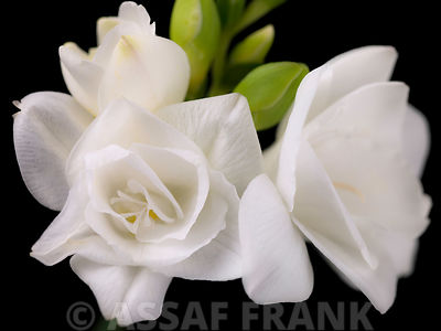 Close-up of White Freesias