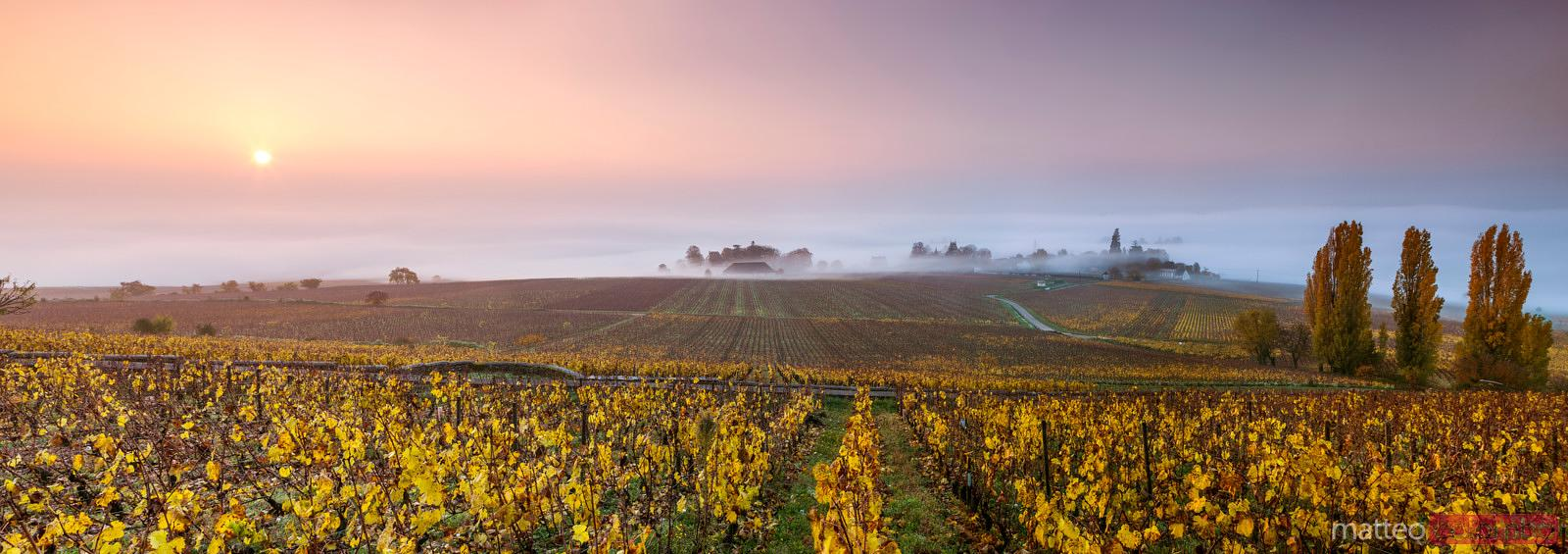 Vineyards in autumn at sunrise, Aloxe Corton, Cote d'Or,  Burgundy, France