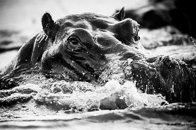 4207-Hippo_Laurent_Baheux