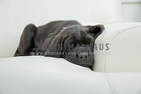 black lab sleeping on couch