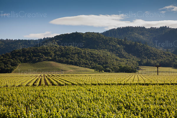 A beautiful vineyard view in Yountville, California
