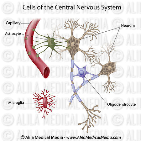 Neurons and glial cells, labeled.