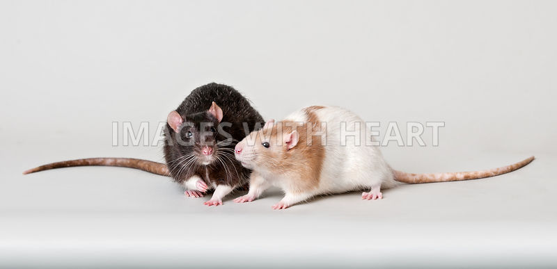 Two rat friends