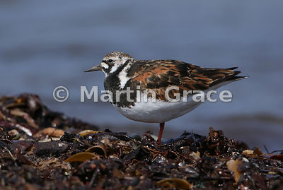 Male Ruddy Turnstone (Arenaria interpres) in breeding plumage, standing on one leg, Bigton Wick, Mainland South, Shetland