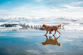 wet golden retreiver running on beach near ocean
