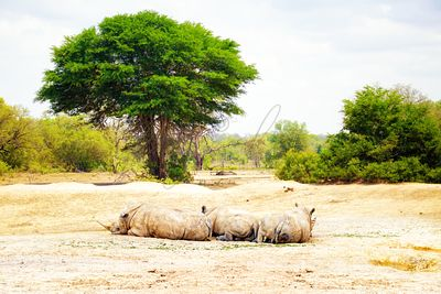 Three White Rhino in Africa