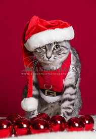 grey tabby cat in santa claus red christmas outfit