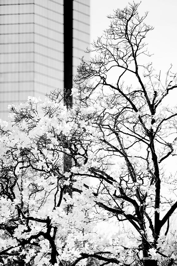 BOSTON MODERN ARCHITECTURE AND FLOWERING TREE IN SPRING BOSTON MASSACHUSETTS BLACK AND WHITE VERTICAL