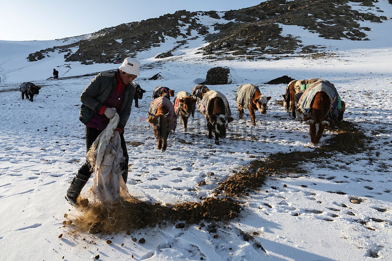 Nurbol Spreading Dried Horse Manure for the Cows to Eat
