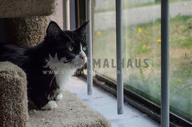 A black and white Tuxedo cat looks out the barred window of the animal shelter