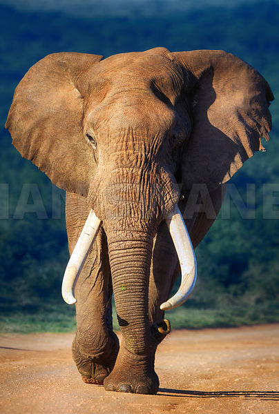 Elephant bull with large tusks approaching - front view