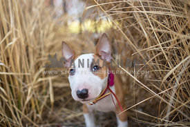 baby bull terrier looking up