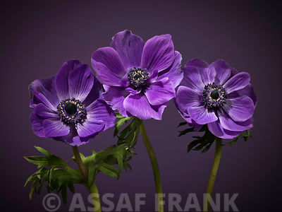 Three purple Anemone flowers