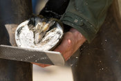 Farrier cold shoeing a horse. North Yorkshire, UK