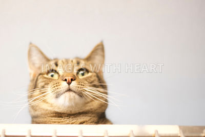 Poof tabby cat looking down