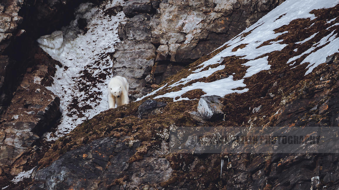 Polar bear on the steep cliffs of Karl XII island looking for birds to eat