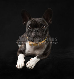 Brindle Pied French Bulldog in Studio on black wearing a yellow collar