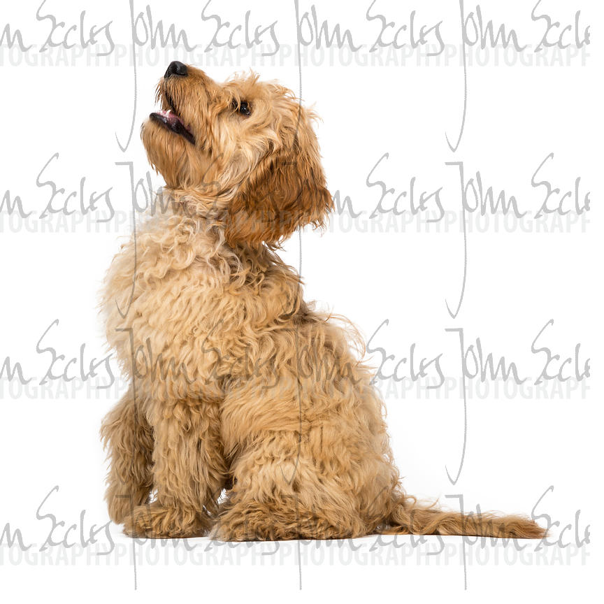 Four month old Cockapoo puppy sitting with white background.