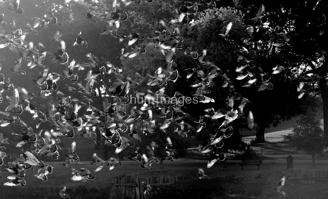 Flock of pigeons in the air flying