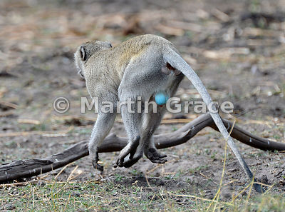 Male Vervet Monkey (aka Grivet or Green Monkey) (Cercopithecus aethiops) showing his characteristic blue scrotum, River Chobe...