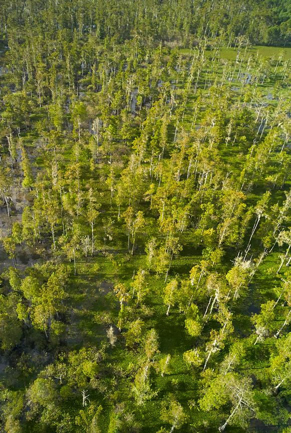 Aerial photograph of trees in the Atchafalaya River in Southern Louisiana.