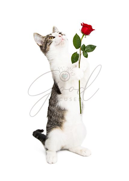 Kitten Holding Rose Looking Up