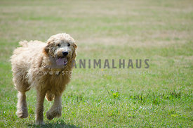 A Golden Doodle runs across the park with her tongue hanging out