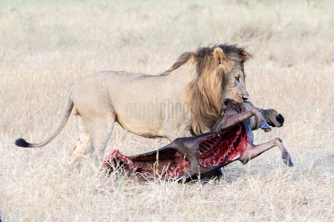 Male Lion Carrying a Wildebeest Carcass