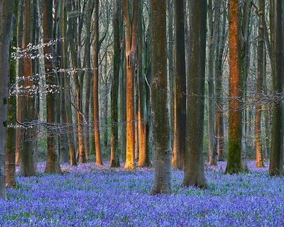 Blue bells at Micheldever Woods, Hampshire