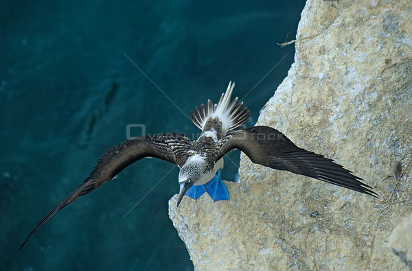 Blue footed booby (Sula nebouxii) on rock face stretching wings, Isabel Island National Park, Sea of Cortez (Gulf of Californ...