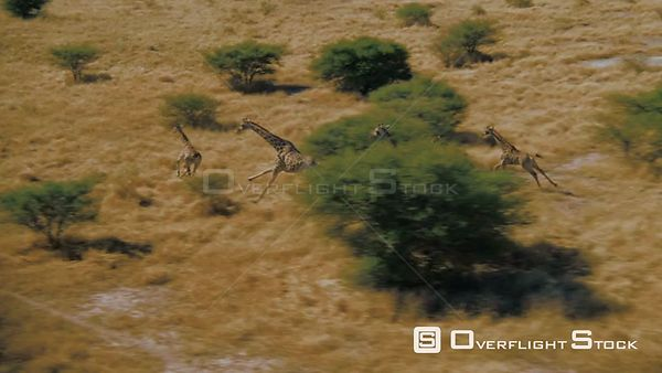 Aerial wide shot group of giraffes running across grassy plain with trees in background, zoom in to head of giraffe Zimbabwe