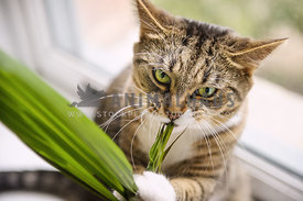 Naughty cat eating a house plant