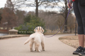 small golden retriever puppy standing on sidewalk on leash facing away
