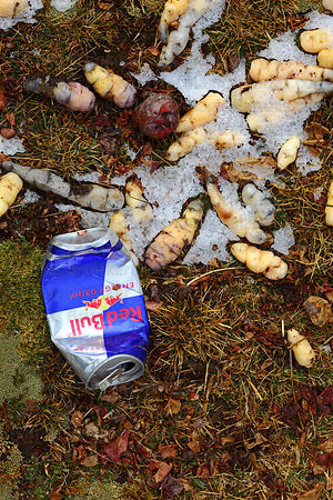 Oca ( Oxalis tuberosa ) in snow freeze drying and Red Bull drink can , Bolivia