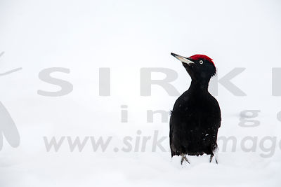 Black Woodpecker