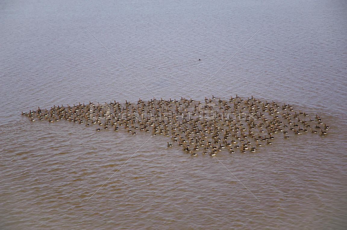 Flock of White Fronted Geese (Anser albifrons) in molt, on water, Teshekpuk Lake, Alaska, USA, July.