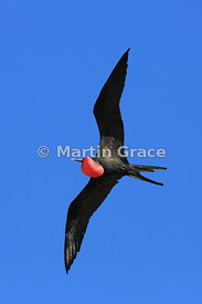 Male Great Frigatebird (Fregata minor ridgwayi) in flight with his red gular pouch inflated to attract a female, Darwin Beach...
