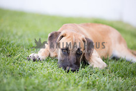 puppy laying in the grass with eye contact