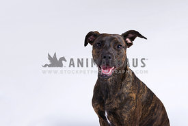 Brindle crossbreed in studio with white backdrop